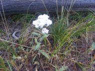 Yarrow, Achillea millefolium, part of the Asteraceae (Sunflower Family) on Texas Creek