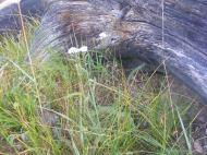 Yarrow next to a log near camp on Texas Creek