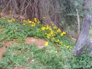 Heartleaf Arnica along the Crest Trail
