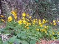 Arnica cordifolia, probably, near the Crest Trail