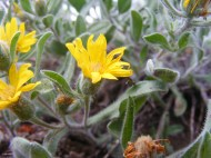 Close up of yellow mystery flower, most likely in Asteraceae