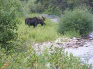A moose in the Flat Tops Wilderness, adjacent to the South Fork White River