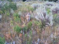Draco near camp, coursing through the vegetation about the South Fork White River