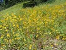 Possibly Goldeneye, Heliomeris multiflora if so, on East Marvine Creek