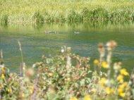 Ducks on a small pond on East Marvine Creek