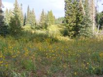 Meadow full of Goldeneye, Heliomeris multiflora, or some other yellow Asteraceae