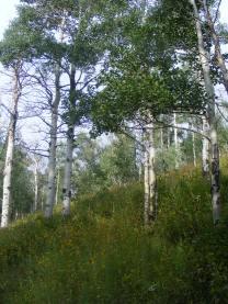 Aspen forest on East Marvine Creek