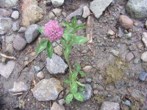 A clover, part of the Pea Family, on East Fork Cimarron River
