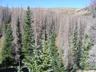 Some young conifers on Whale Creek have survived the beetle outbreak