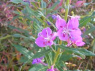 Fireweed, part of the Evening Primrose Family, on the topside of the loop trail around Wheeler Geologic Area