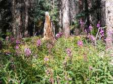 Fireweed on the west side of Wheeler Geologic Area