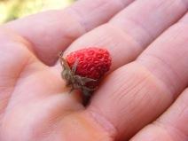 Wild Strawberry at Wheeler Geologic Area