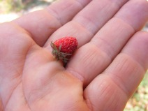 Wild Strawberry int he palm of my hand