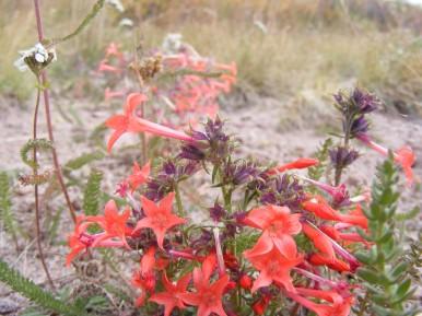 Scarlet gilia in Twin Peak Creek basin