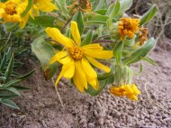 A member of the Aster Family, in Twin Peaks Creek basin