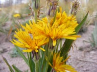 A native dandelion, part of the Aster Family, in Twin Peaks Creek's basin
