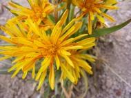 Close up of a native dandelion