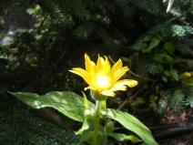 Arnica, part of Asteraceae, in La Garita Wilderness
