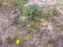 Late season Potentilla spp., possibly, growing near Twin Peaks Creek