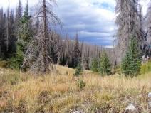 Near camp in La Garita Wilderness, note new conifers among the dead