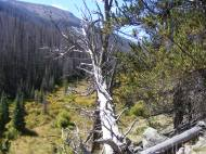 From the trail, looking at South Saguache Creek; note live bristlecone to the right