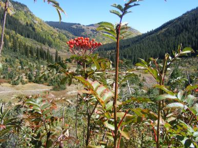 Looking past late Summer berries on what might be an elderberry, looking down Poverty Gulch