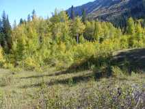 Aspen grove on the north side of Poverty Gulch