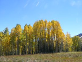Grove of aspen on Carbon Creek between Carbon Peak and Mount Axtell