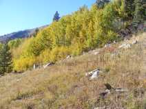 Aspen forest on the upper part of Carbon Creek just under Gibson Ridge