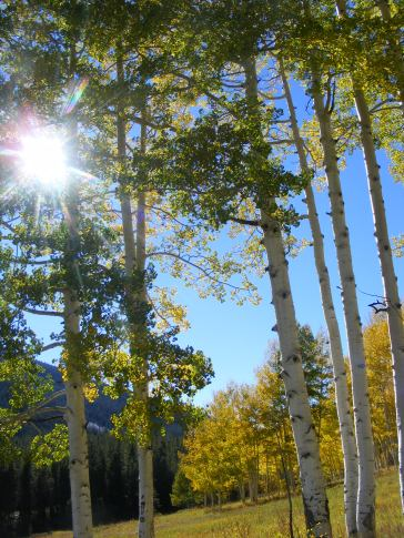 Afternoon sunlight shining down through the aspen
