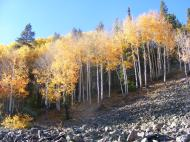 Evergreens amid the changing aspen
