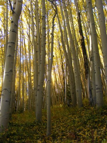 Late afternoon light illuminating the crowns of the aspen on Ohio Creek