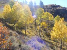 Aspen lit up sunlight, goodbye chlorophyll