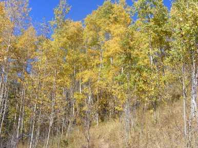 Grove of aspen on Walrod Gulch