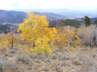 One of the last flaming aspen of the season, on the divide between Willow Creek and Illinois Gulch