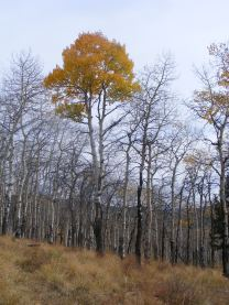 Subdued but nonetheless grand colors, aspen above Illinois Gulch