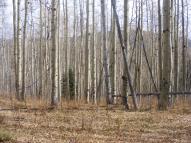 Aspen forest on Bear Gulch