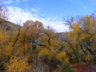 Yellow cottonwood on Bureau of Land Management lands along the Encampment River in Wyoming