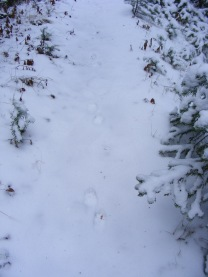 Tracks on the Sepulcher Mountain Trail