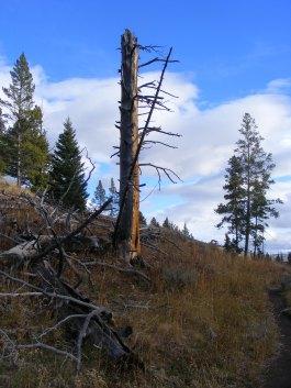 Snag on Glen Creek, Yellowstone National Park