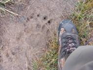 On the Snow Pass Trail, what might be a grizzly bear track