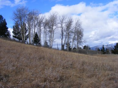 Small copse of aspen on Mount Everts