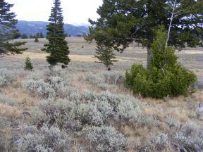 Sagebrush and Douglas fir, and a buffalo on Mount Everts