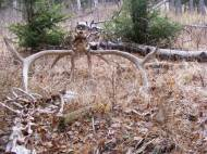 The remains of a bull elk on Mount Everts