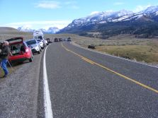 People gathered to watch the Lamar Canyon Pack, on the Northeast Entrance Road along Soda Butte Creek