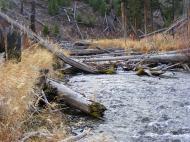 Lodgepole pine felled over Lava Creek