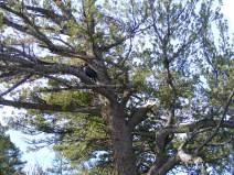 Raven in a Douglas fir, near Junction Butte