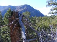 The pinon pine forest on the north side of the Black Canyon of the Gunnison River