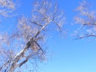 Cottonwood on Cabin Creek, bare of leaves under a cloudless Fall day