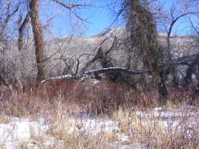 Snowy accumulation under the cottonwood on Cabin Creek